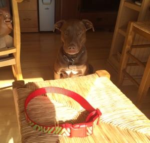 Archer dog overseeing my dog collar progress.